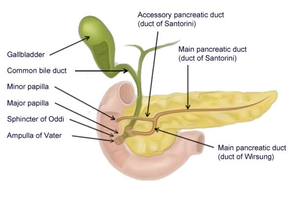 Illustration of the pancreatic duct system