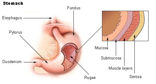 An illustration of the stomach and its layers.