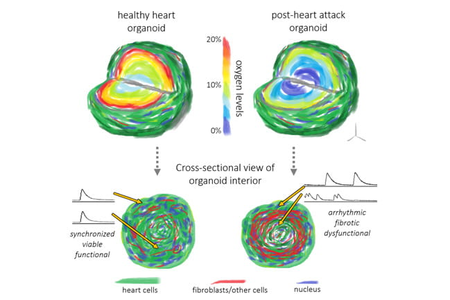 Illustration of oxygen levels within an organoid and how they recreate a heart attack at the tissue level.