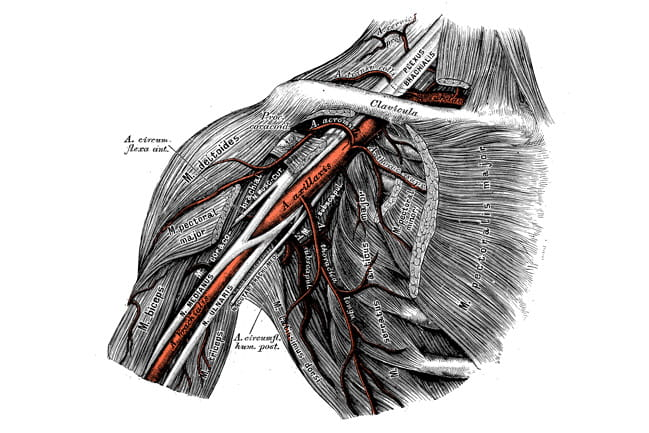 Anatomical illustration of a shoulder