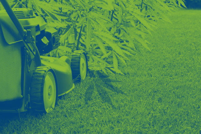 Lawnmower cutting down cannabis plants